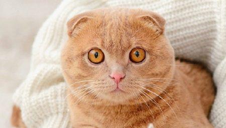 Кастрація та стерилізація висловухих шотландців: в якому віці каструють шотландських котів і стерилізують кішок? Ризики