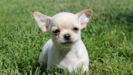Клички для чихуахуа-хлопчиків: красиві та жіночі імена, якими можна назвати собак маленьких порід