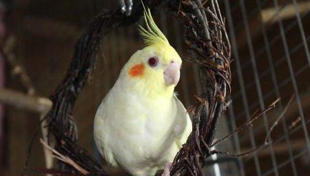 Скільки живуть кореллі? Тривалість життя папуг в домашніх умовах. Скільки років проживе у неволі при правильному догляді?